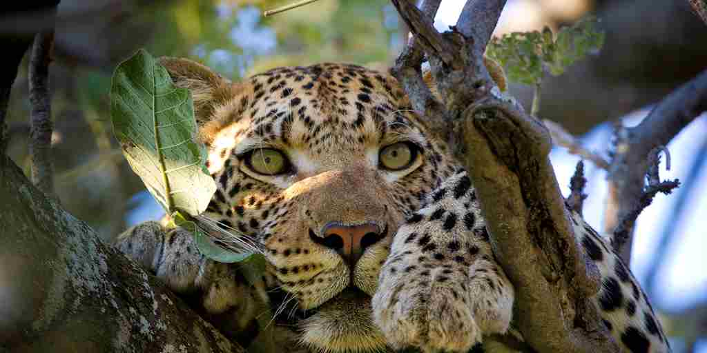 leopard-in-tree-africa-wildlife-yellow-zebra-safaris.jpg