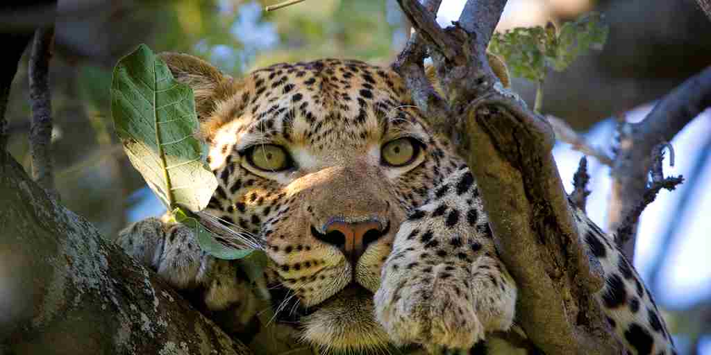 south-africa-leopard-africa-yellow-zebra-safaris.jpg
