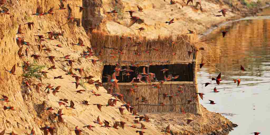 RAS - TAFIKA - CARMINE BEE EATERS FROM THE HIDE.jpg