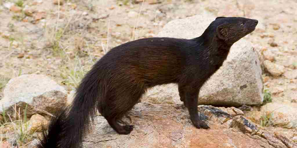 Erongo Wildlife -  Black Mongoose.jpg