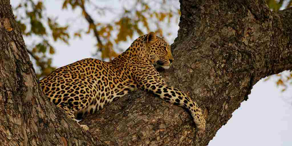 leopard_in_tree_002.jpg