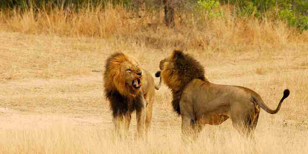 lions_fighting_002.jpg