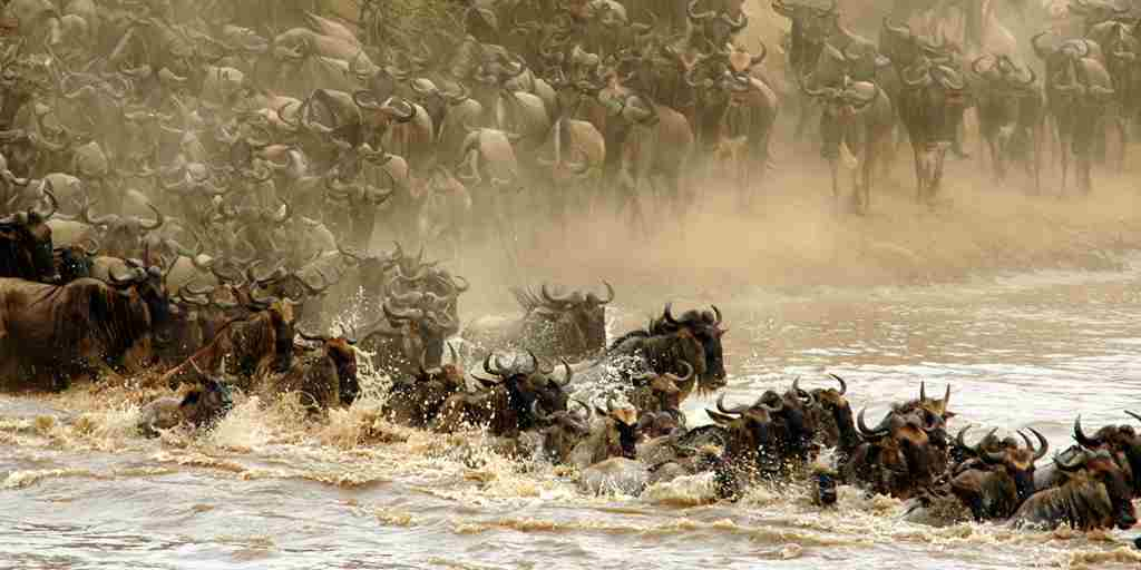 Wildebeest-crossing.jpg