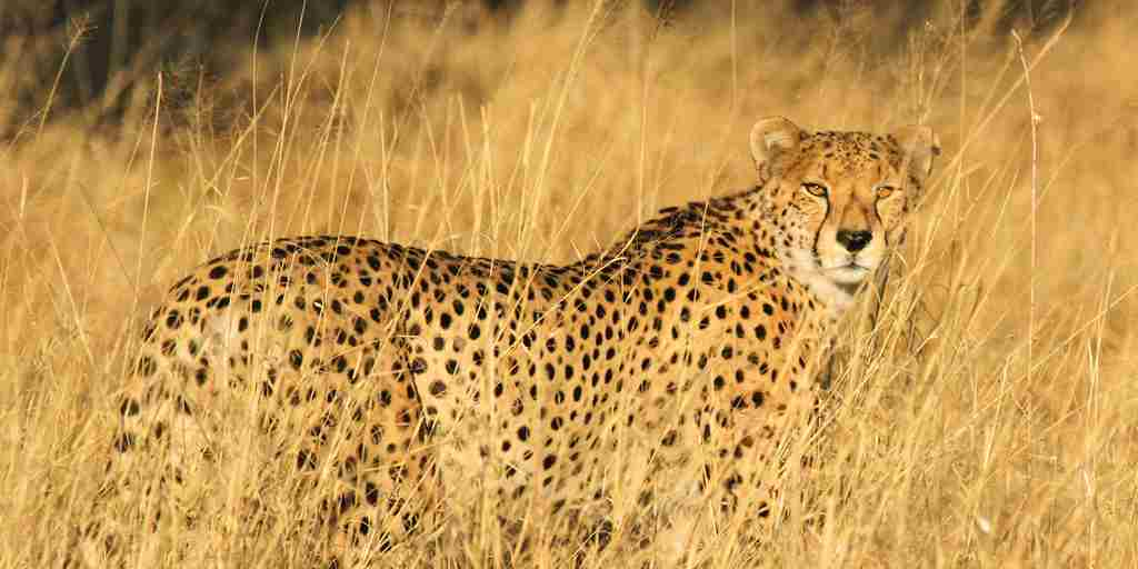 32. Imvelo Safari Lodges   Bomani Tented Lodge   Cheetah Spotted Near Bomani