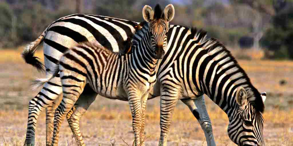 34. Imvelo Safari Lodges - Camelthorn Lodge - Zebra foal and oxpeckers.jpg