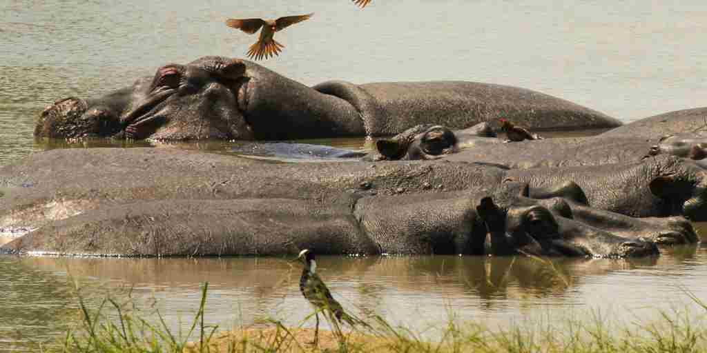 20. Imvelo Safari Lodges   Nehimba   Oxpeckers on the Shumba pan hippo