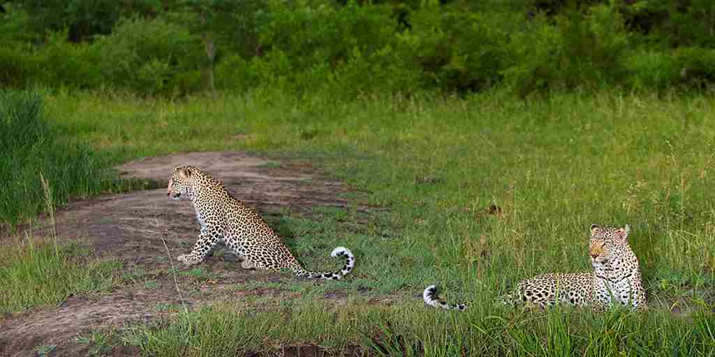 30. Leopards in front of lodge.jpg