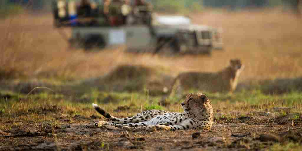 botswana-game-drive-cheetah-yellow-zebra-safaris.jpg