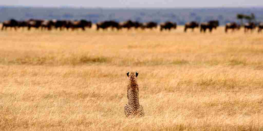 Cheetah on plains.jpg