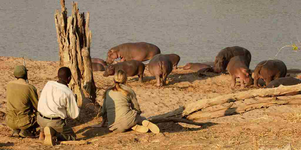 Hippo on a Walk.jpg
