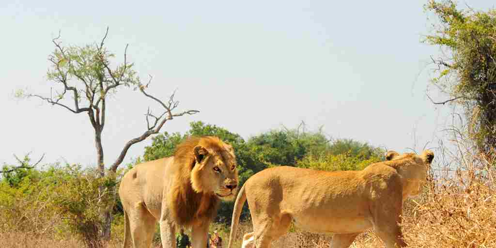 Lion and Lioness Walk.jpg