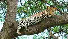 leopard-tree-south-africa-yellow-zebra-safaris.jpg