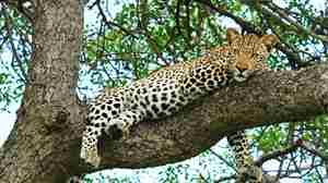 leopard tree south africa yellow zebra safaris