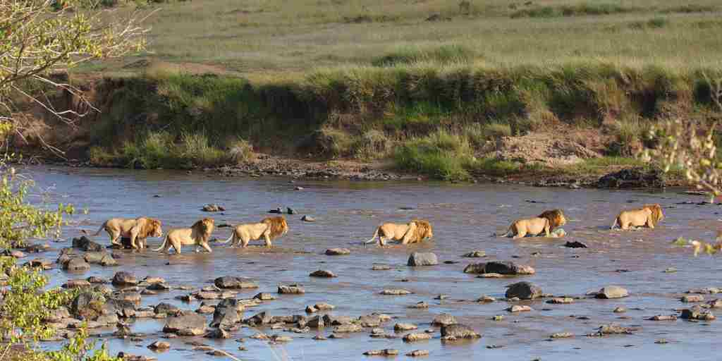 Lions crossing river, Kenya
