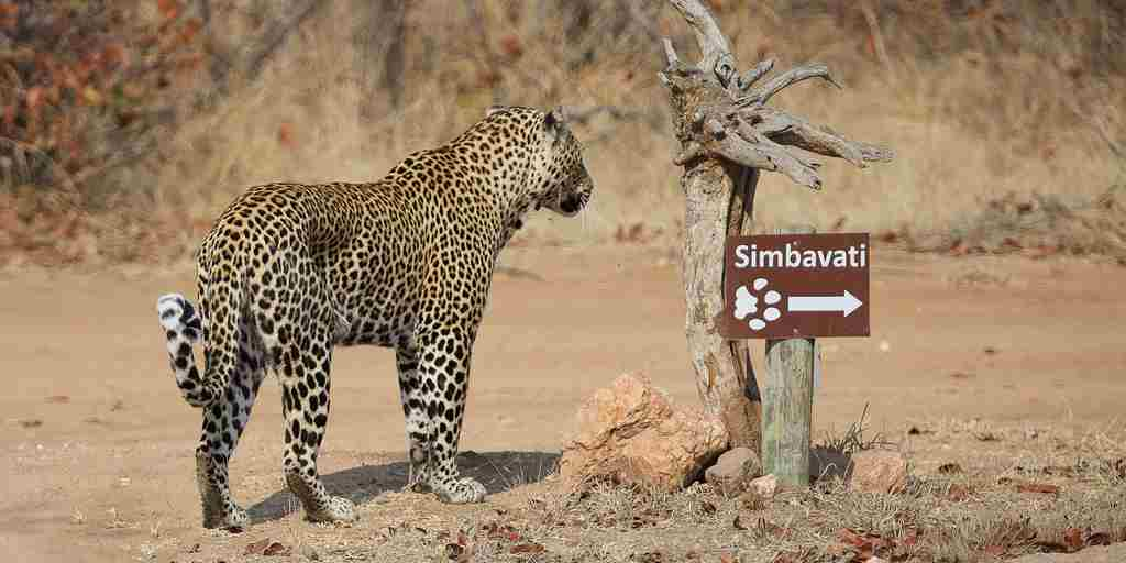 Simbavati Leopard by sign.JPG