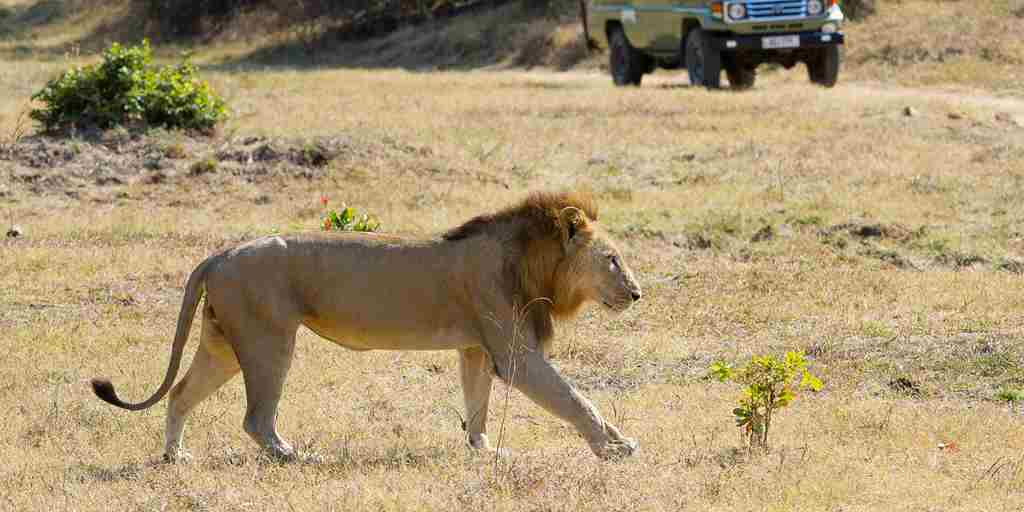 Game drive with lion.jpg
