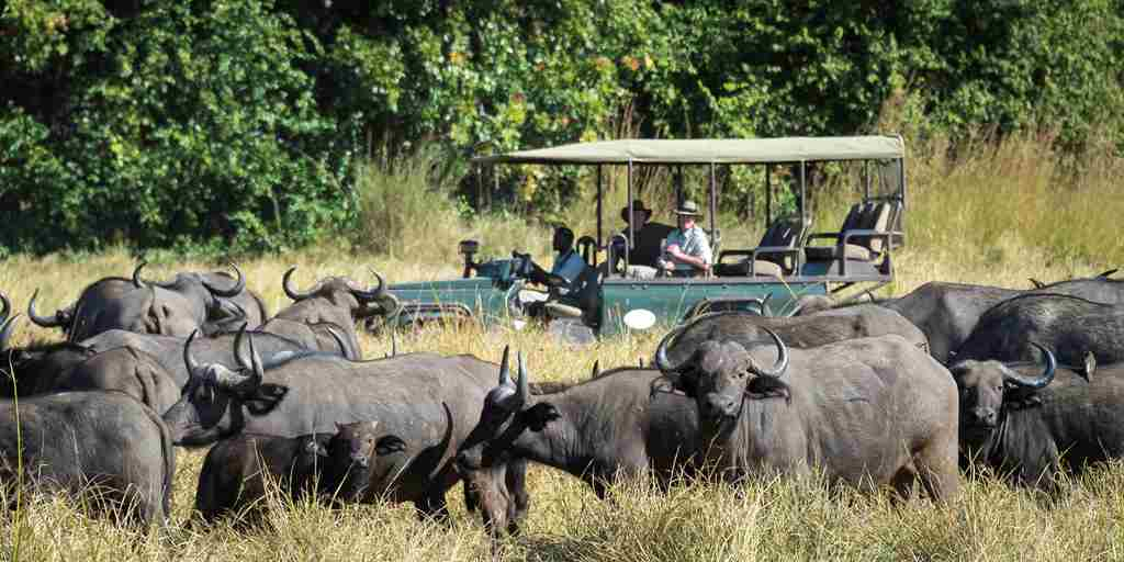 The Bushcamp Company   buffalo herd