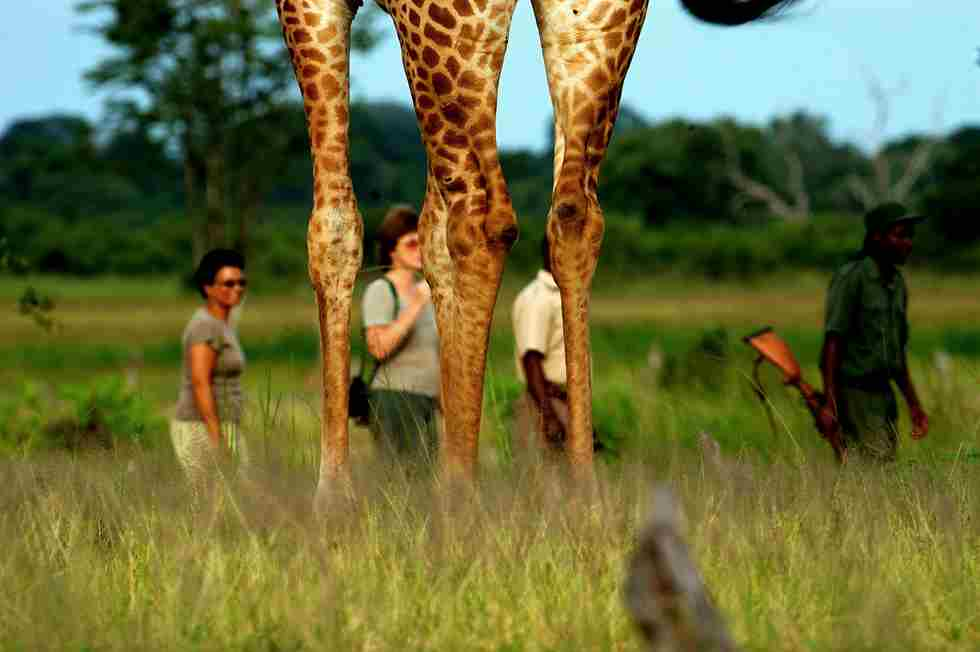 THE BUSHCAMP COMPANY - walking among friendly giants.jpg