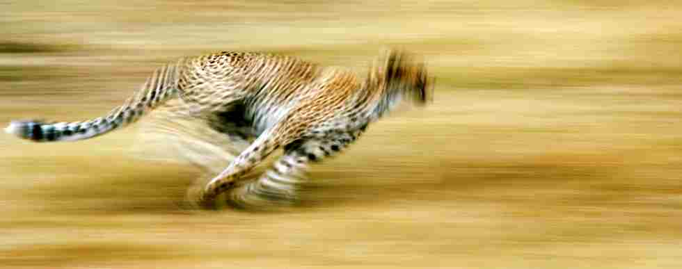 Cheetah running.jpg