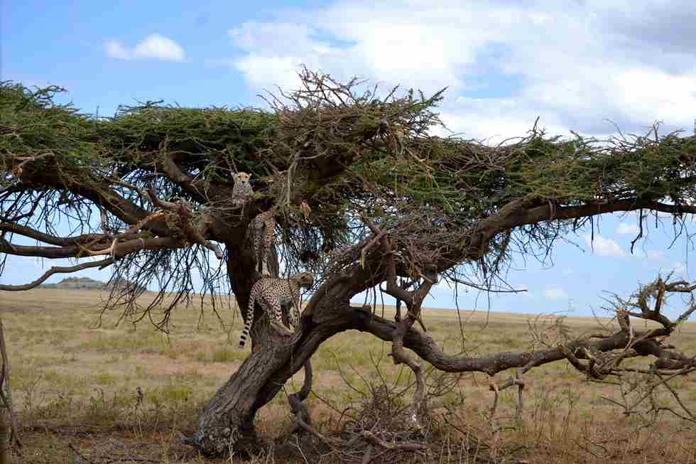 cheetahs-in-tree-Soit-Lemontonye-Serengeti-Allan-Earnshaw-MR.jpg