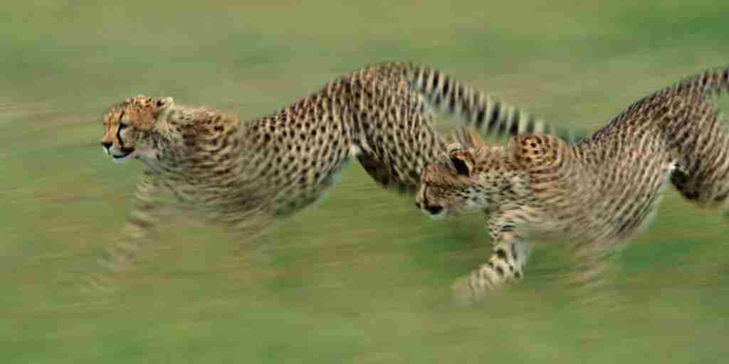 Serengeti-cheetahs running AS.jpg