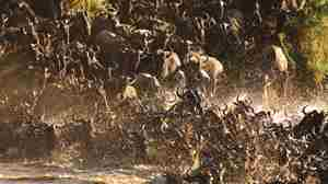 Wildebeest-Crossing-mara-river-Serengeti-lodge.jpg