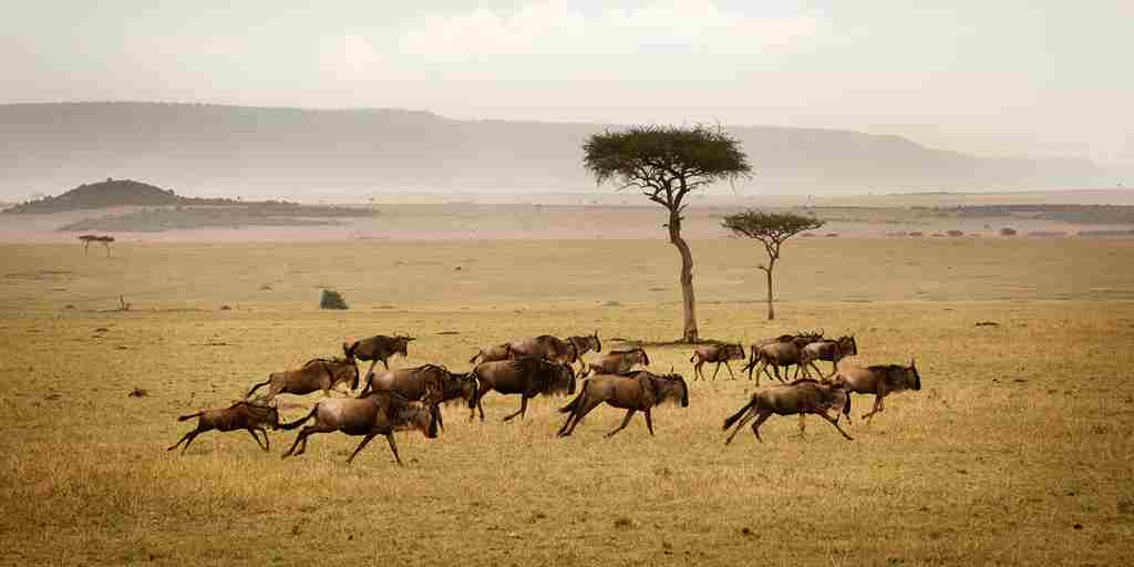 Wildebeest-Herd-Running-Serengeti-Eliza-Deacon-MR.jpg