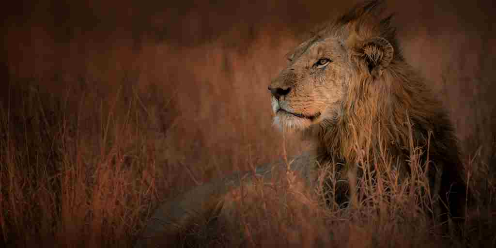 Singita-Lebombo-Wildlife-lion-yellow-zebra-safaris.jpg