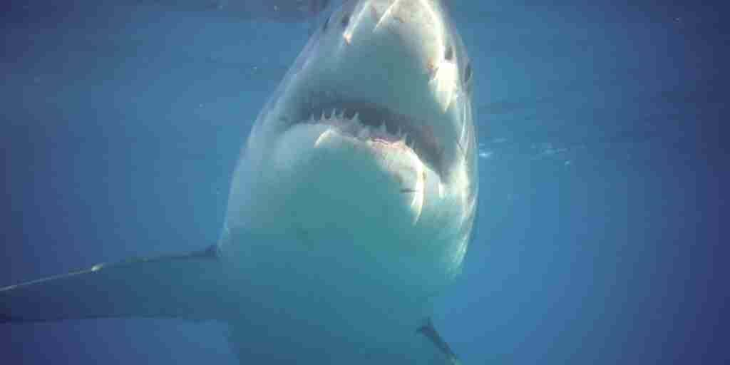 Great White Shark Adventure.jpg