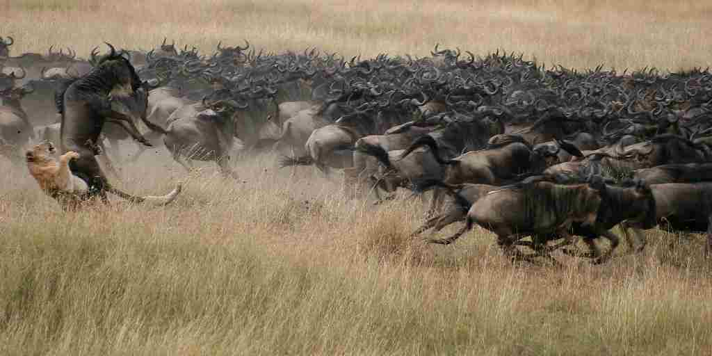 Mara Plains wildebeest.jpg
