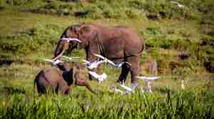 Elephants-and-egrets.jpg