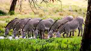 Grevy-lined-up.jpg