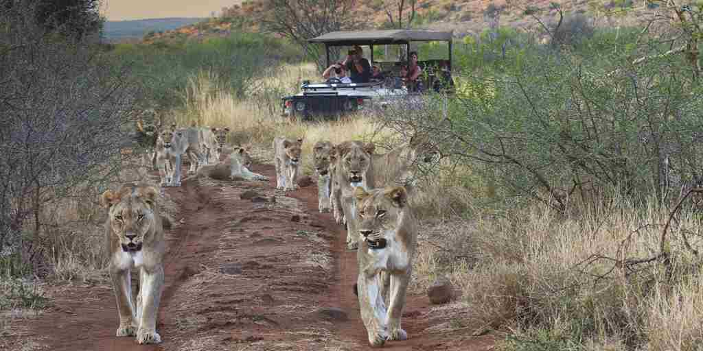 Tuningi-wildlife-lions-vehicle.jpg