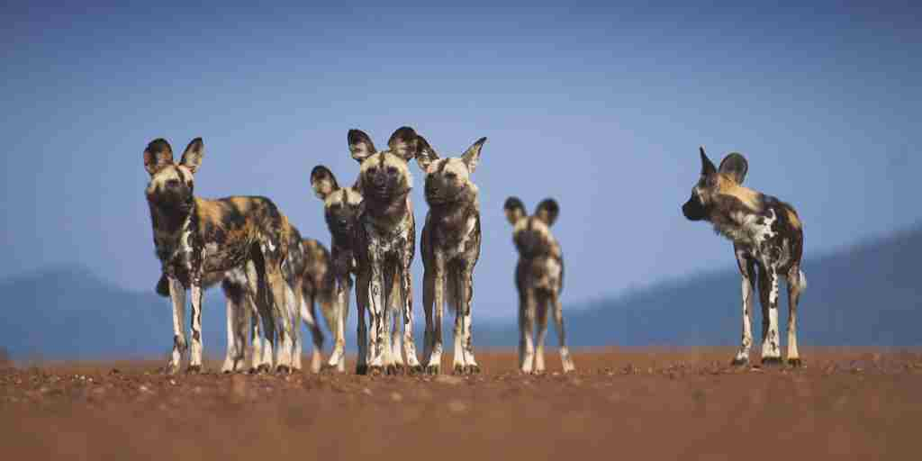 Tuningi-wildlife-wildogs.jpg