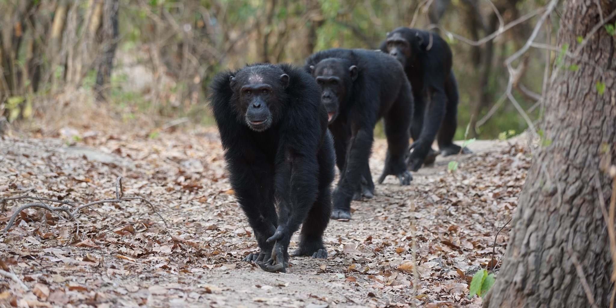 Mahale Mountains Chimpanzee Trekking | Tanzania | Yellow