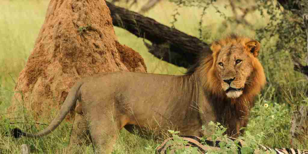 44d. Imvelo Safari Lodges - Bomani - Lion.jpg