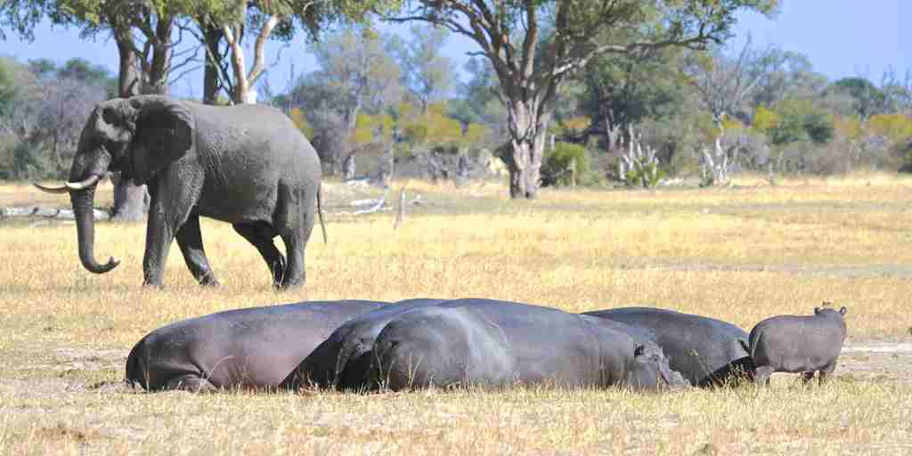 46. Imvelo Safari Lodges - Bomani Tented Lodge - Major Pan hippos and curious calf.jpg