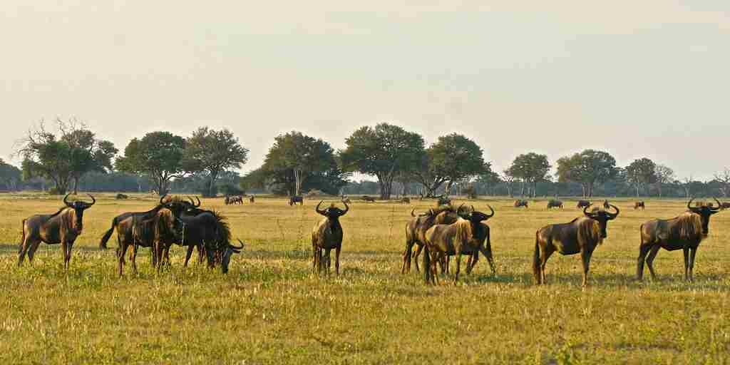 47. Imvelo Safari Lodges - Bomani Tented Lodge - Wildebeest on Ngamo Plain in May.JPG