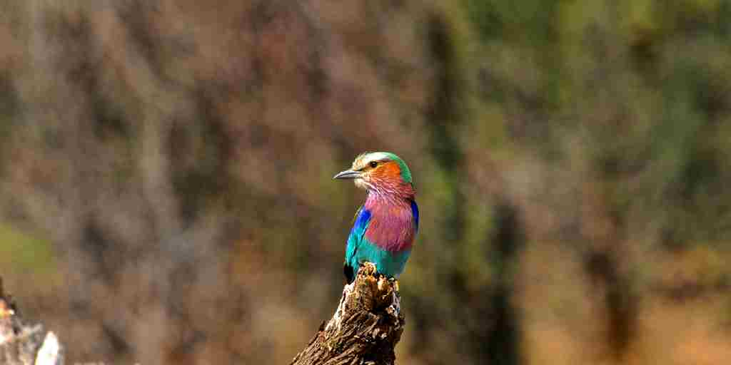 49. Imvelo Safari Lodges - Bomani Tented Lodge - Lilac Breasted Roller.jpg