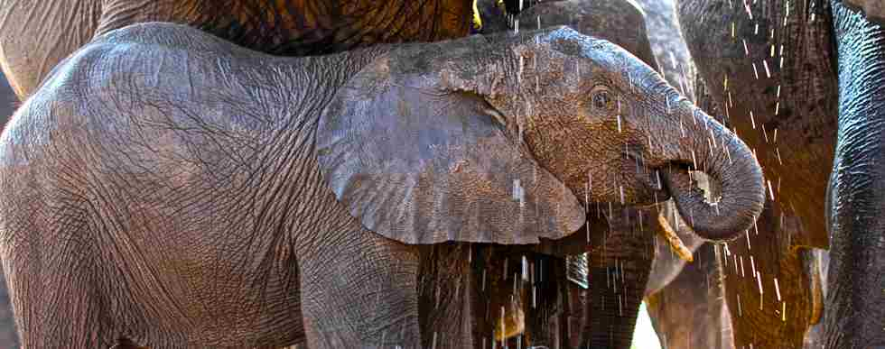 49. Imvelo Safari Lodges - Camelthorn Lodge - Elephant calf at the Look Up blind gets rained on by his mother.jpg
