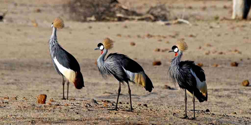 50. Imvelo Safari Lodges - Bomani Tented Lodge - Crowned Cranes in October await the rains.jpg