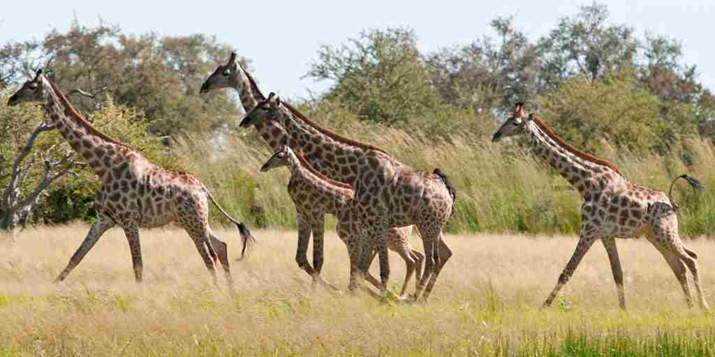 51. Imvelo Safari Lodges - Bomani Tented Lodge - Giraffes canter across the plain in wet season.jpg