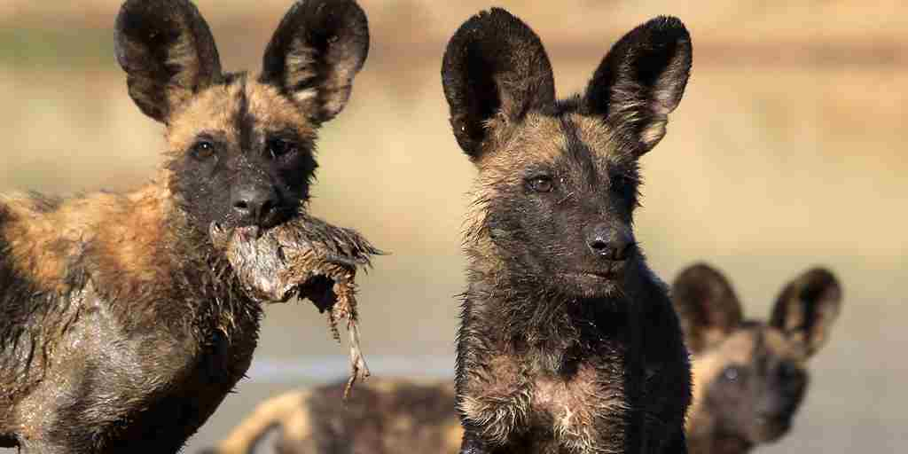 Wild dog pups and kill RC