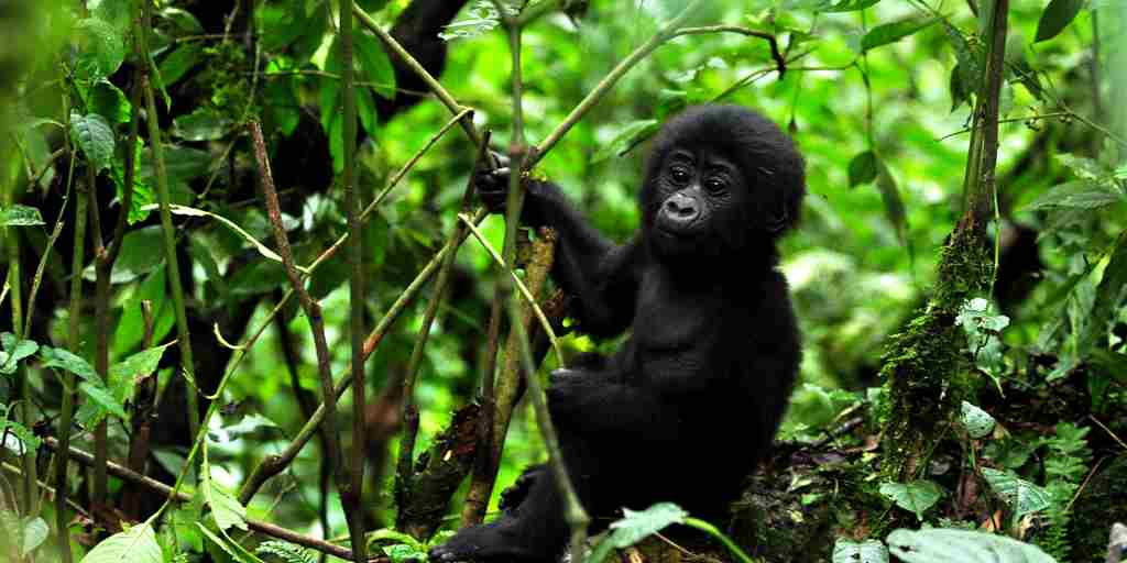 Sanctuary Gorilla Forest Camp baby gorilla