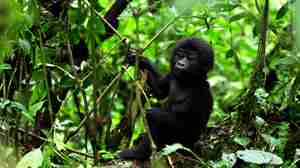 Sanctuary-Gorilla-Forest-Camp-baby-gorilla.JPG