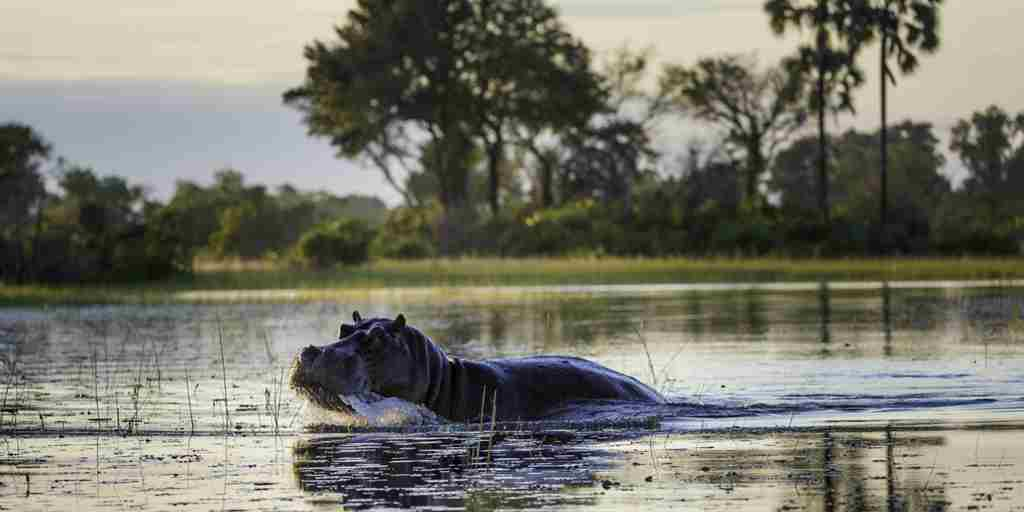 botswana hippo water yellow zebra safaris
