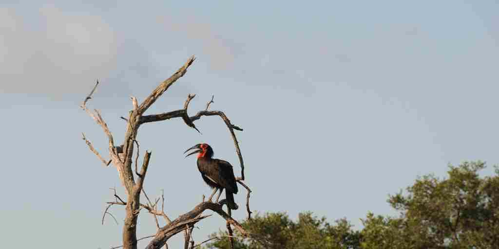 AHBS Game GroundHornbill.JPG