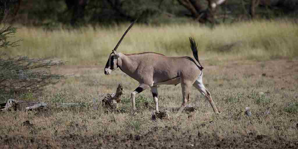 Joys-Camp-Shaba---Oryx.jpg