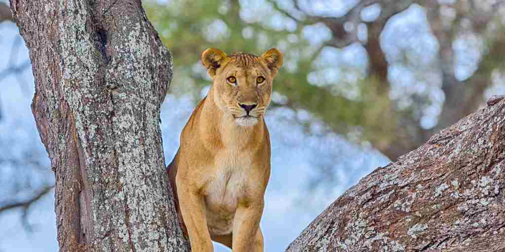 A female lion standing in the crook of a tree, Tarangire National Park