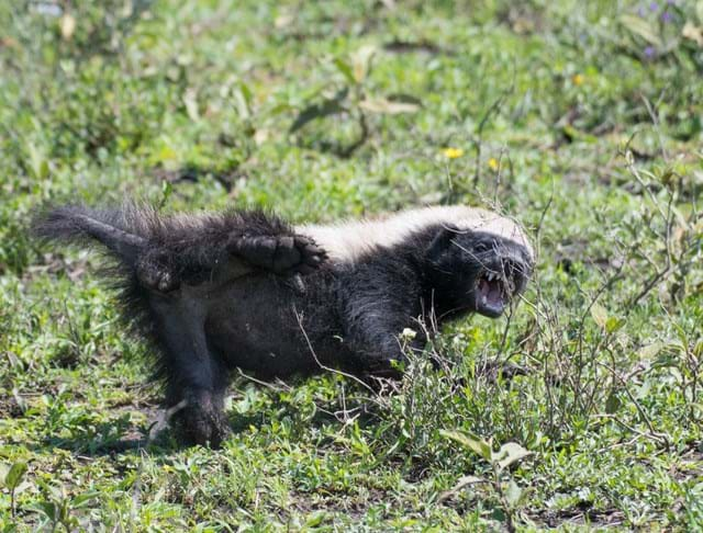 A Vicious African Badger